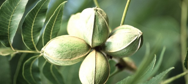 The Southern Nut With A Northern Name The Science Of The